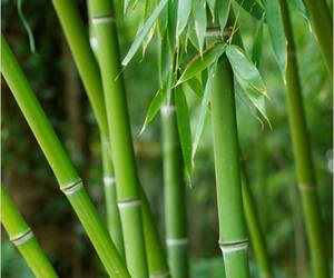 Photo: Bamboo Forest